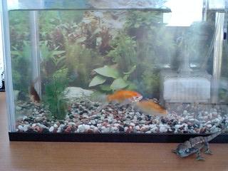 金魚20080907.JPG